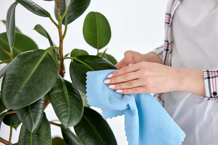 Take care of home plant, wiping leaves with blue rag. Cropepd woman cleans leaves, removes dust from plant. Care of indoor plants, spring cleaning concept.