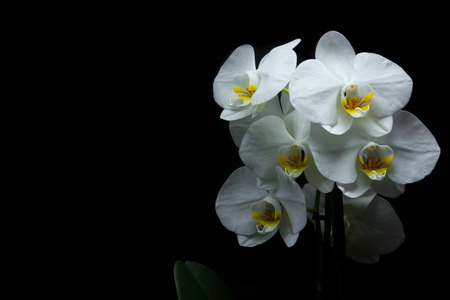 white orchids: White orchids on a black background