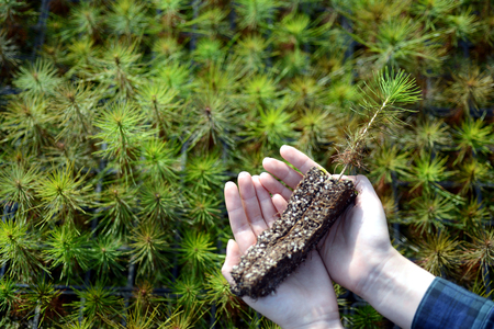 In your hand, the pine tree seedlings. Stock Photo