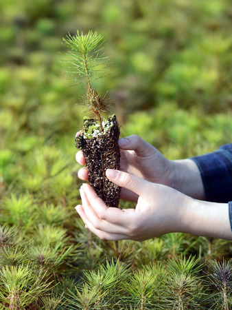 forestation: In your hand, the pine tree seedlings. Stock Photo