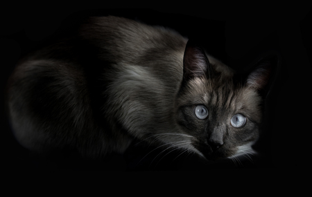 oldstyle: a thai cat is a traditional or old-style siamese cat.
