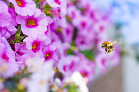 Honey Bee just before landing on a Bte