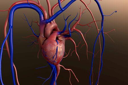 Heart model, Human heart model