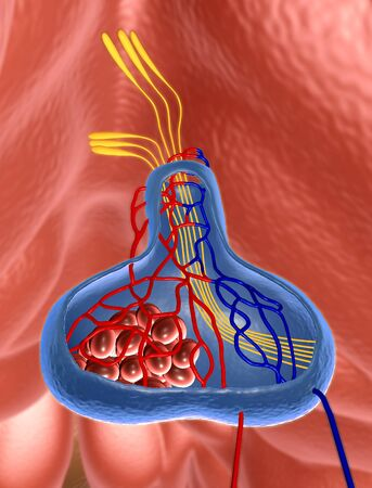 Internal organs in a human body, part of brain, illustration of pituitary gland