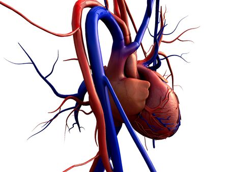 Heart model w/clipping path, Human heart model, Full clipping path included, Human heart for medical study, Human Heart Anatomy Foto de archivo