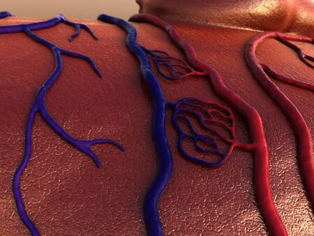 circulatory system, Capillary, blood vessel 写真素材