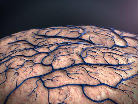 brain surfase, circulatory system, disease, heart attack, Capillary Stockfoto