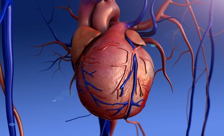 Heart model, heart, Full clipping path included, Human heart for medical study, Human Heart Anatomy