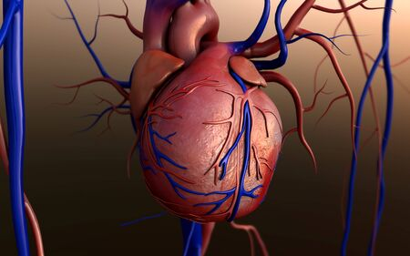 Heart model, Full clipping path included, Human heart for medical study, Human Heart Anatomy Фото со стока