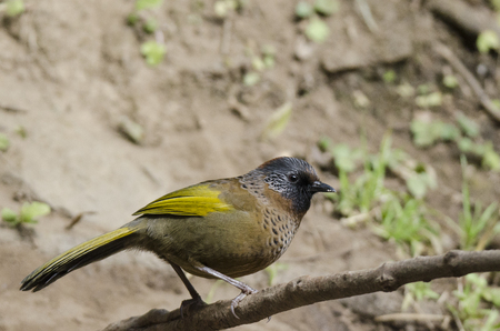 laughingthrush: Chestnut-crowned laughingthrush