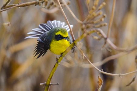 fantail: Fantail, Bird of Bhutan Stock Photo