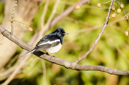 bhutan: Oriental Magpie-robin, bird of Bhutan Stock Photo