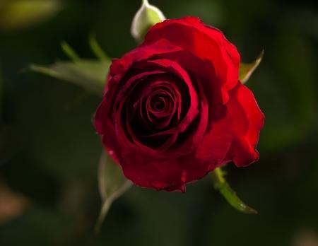 pflanze: Rougge