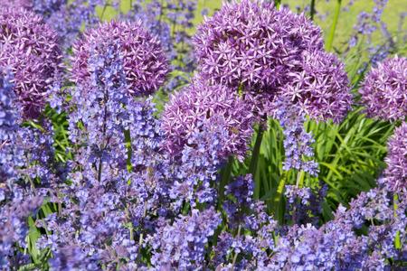 plants species: Il genere cipolla Allium comprende piante da fiore monocotyledonous e include la cipolla, l'aglio, erba cipollina, scalogno, scalogno, e il porro, cos� come centinaia di specie selvatiche.
