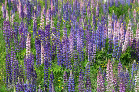 fabaceae: Lupinus, commonly known as lupin or lupine (North America), is a genus of flowering plants in the legume family, Fabaceae.