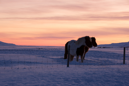 in december: Ponys at Valley Haukadalur, Iceland in December.