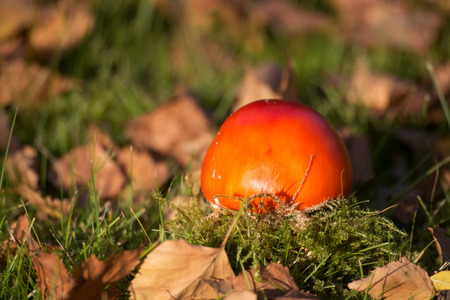 'fly agaric': Fly Agaric in the sunshine in October.