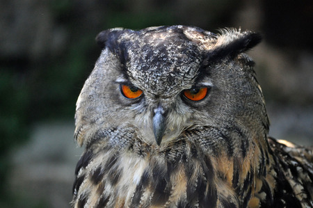 resides: The Eurasian eagle-owl (Bubo bubo) is a species of eagle-owl that resides in much of Eurasia. Stock Photo