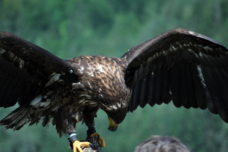 large bird: The sea eagle (Haliaeetus albicilla) is a large bird of prey in the family Accipitridae.