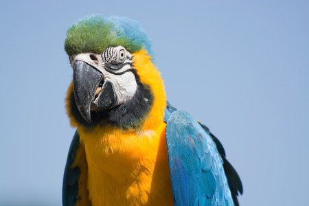 ararauna: Portrait of Blue-and-Yellow Macaw, latin called Ara ararauna. Stock Photo
