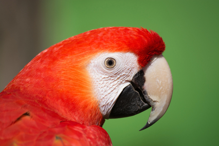 macao: Portrait of Scarlet Macaw, latin called Ara macao. Stock Photo
