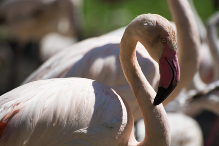 greater: Greater Flamingo, called in latin Phoenicopterus roseus. Stock Photo
