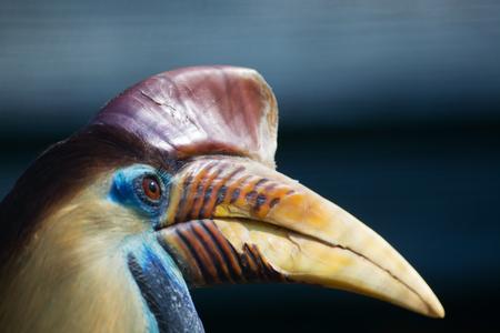 named: knobbed hornbill, named in latin Aceros cassidix.