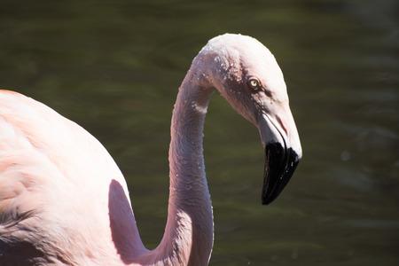 phoenicopterus: Greater Flamingo, called in latin Phoenicopterus roseus. Stock Photo