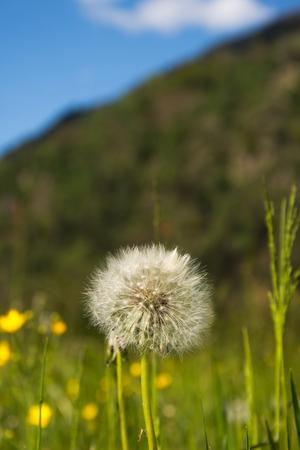 pappus: common dandelion, called in latinTaraxacum sect. Ruderalia.