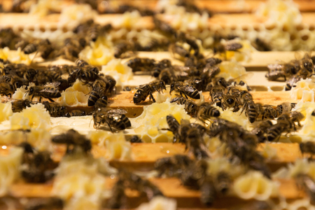 mellifera: Bee colony in a apiculture in Germany .