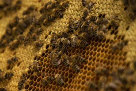 apiculture: Bee colony in a apiculture in Germany .