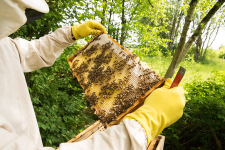 colony: beekeeper at a Bee colony in a apiculture in Germany.