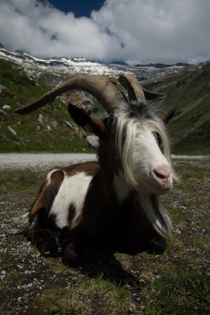 hohe tauern: Goat atthe K?lnbrein Dam is an arch dam in the Hohe Tauern range within Carinthia, Austria. Stock Photo