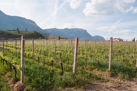 Uva de vino en el lago Kaltern, italiano Lago di Caldaro, un lago en el municipio de Kaltern, en el Tirol del Sur, Italia. Foto de archivo