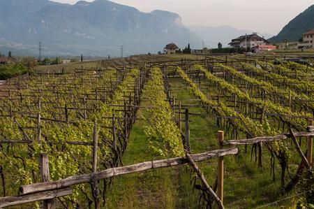 Uva de vino en el lago Kaltern, italiano Lago di Caldaro, un lago en el municipio de Kaltern, en el Tirol del Sur, Italia.