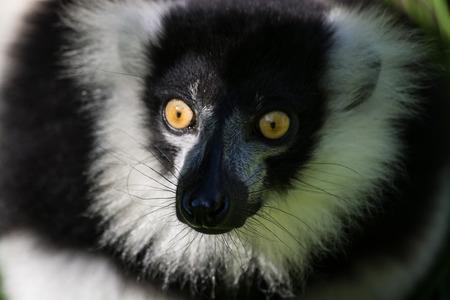 The ruffed lemurs of the genus Varecia are strepsirrhine primates and the largest extant lemurs within the family Lemuridae. Stock Photo