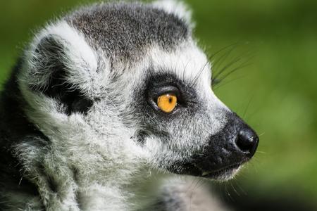 The ring-tailed lemur (Lemur catta) close up