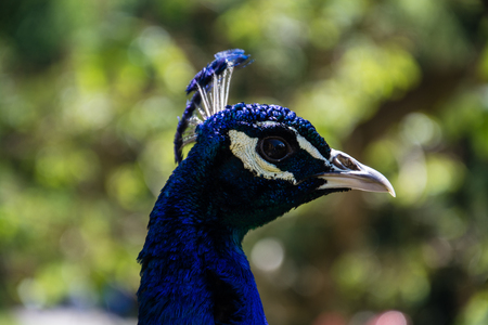 Pavo is a genus of two species in the pheasant family. The two species, along with the Congo peacock, are known as peafowl.