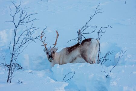 The reindeer (Rangifer tarandus)  is a species of deer (Cervidae) with circumpolar distribution, native to Arctic, sub-Arctic, tundra, boreal, and mountainous regions of northern Europe, Siberia, and North America.