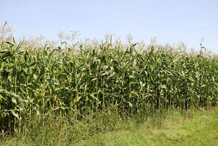 Maize field near Gransee in the Mark Brandenburg - Germany. Standard-Bild - 109260963