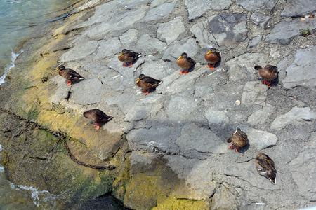 Wild ducks on the shore of Lake Constance near Lindau - Germany.