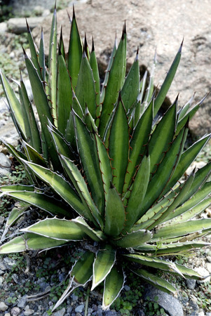 Agave parviflora in South Tyrol - Italy.