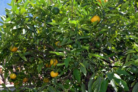 Citrus fruits in the lemon greenhouse in Limone sul Garda on Lake Garda - Italy.