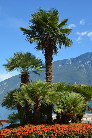 Palms on the promenade in Limone sul Garda on the shores of Lake Garda - Italy.
