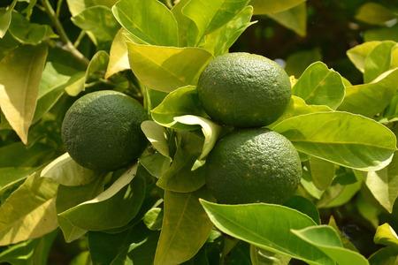 Citrus fruits in Limone sul Garda on Lake Garda - Italy.