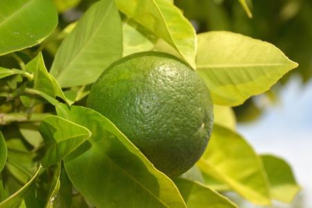 Citrus fruit in Limone sul Garda on Lake Garda - Italy.
