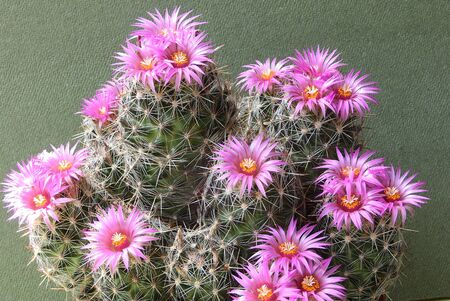 Cactus Escobaria vivipara with flowers from Texas - United States. Stock Photo