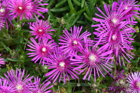 Blossoms of the Delosperma cooperi in the Alps near in South Tyrol - Italy.