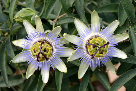 Passion flower in a garden near in South Tyrol in Italy - Passiflora caerulea.
