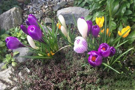 Spring flowers in a garden in Berlin - Germany. Standard-Bild